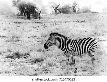 Black and white image of a Zebra taken against the dry arid background of the African savannah