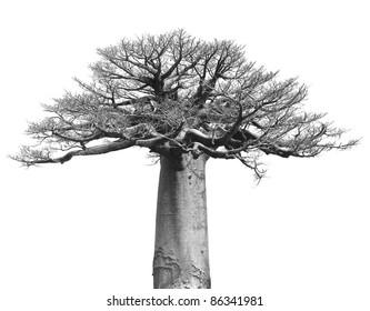Black and white Isolated baobab tree over white background