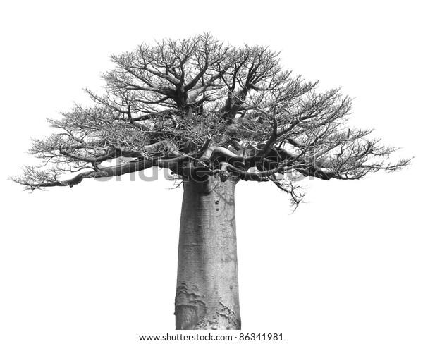 Photo De Stock De Noir Et Blanc Du Baobab Sur Modifier