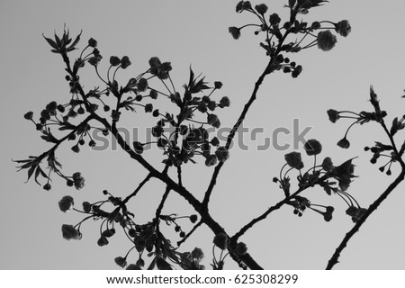 Black And White Japanese Cherry Blossoms Landscape