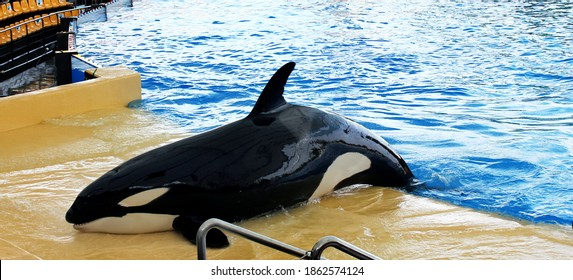 Black and white killer whale swims out of the pool, Tenerife 2012