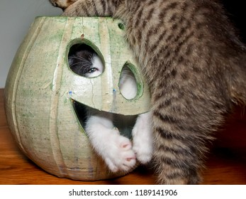 Black and white kitten hiding inside a jack o' lantern peeks through the holes with one eye out of an eye hole, while another kitty tries to jump inside with him. Halloween.