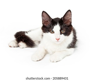 Black and white kitten laying looking into camera paws out in front of body