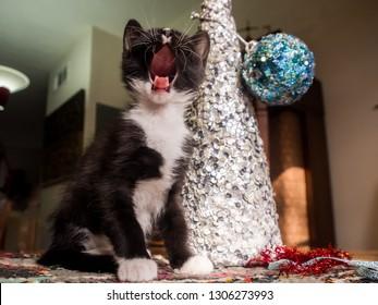 Black and white kitten singing Christmas carols