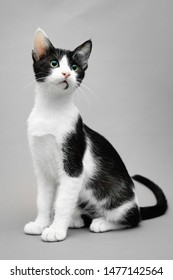 Black and white kitten sitting against a seamless grey background and looking forward and up, vertical