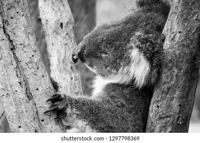 Black and white of koala bear in Australia sleeping in tree holding himself with his black long claws