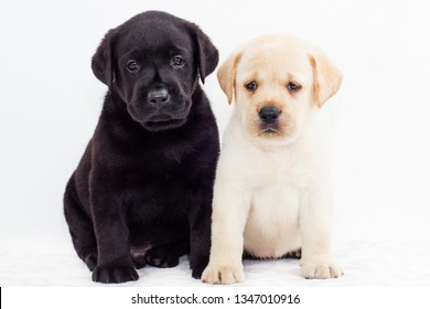 Black and White Labrador puppies on white background, cute little Labradors, photo of little dogs on white background, cute Labrador puppies on the background