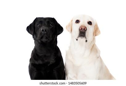 Black and white Labrador Retriever dog, portraits on white background