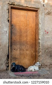 Black and white lambs lying on the rug at doorstep of closed wooden door. Sinai. Dahab. Bedouin quarter - Assala.