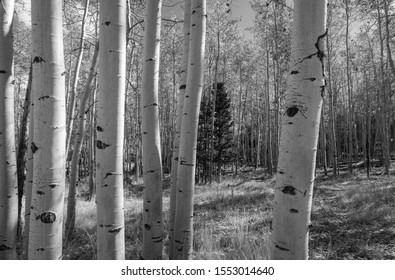 Black and white landscape of aspen tree trunks in a forest