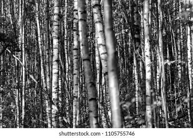 Black and white landscape of a birch grove