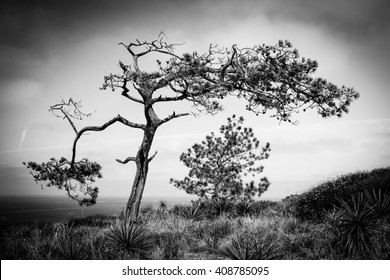 Black and White Landscape Dance of the Pines