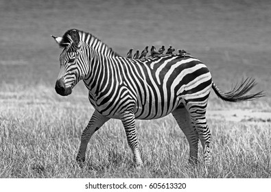 Black & White landscape of an isolated Burchells Zebra (Equus quagga)  on the Ar Plains with lots of oxpeckers perched on it's back.  Zimbabwe, Southern Africa