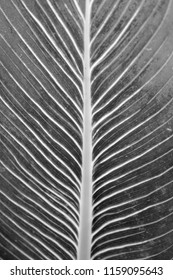 black and white leave close up