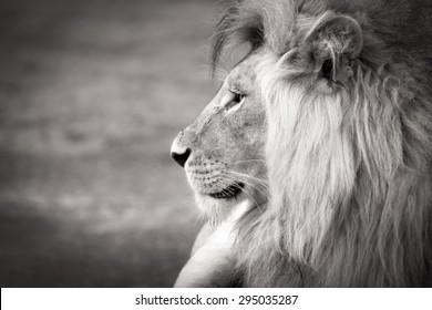 black and white lion portrait in profile