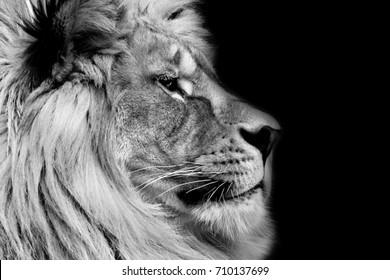 Black and white lion profile.