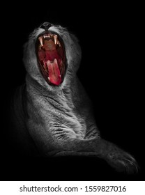 black and white lioness (female) with a bright red widely spread bright red mouth, isolated on a black background. A symbol of passion, rage and gluttony.