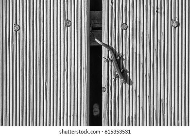 The black and white lizard isolated on a wooden background