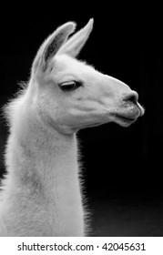 Black and white llama portrait