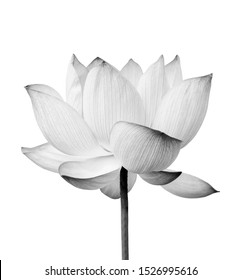 Black and white Lotus flower isolated on white background. File contains with clipping path so easy to work.