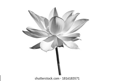 Black white Lotus flower isolated on white background. File with clipping path.