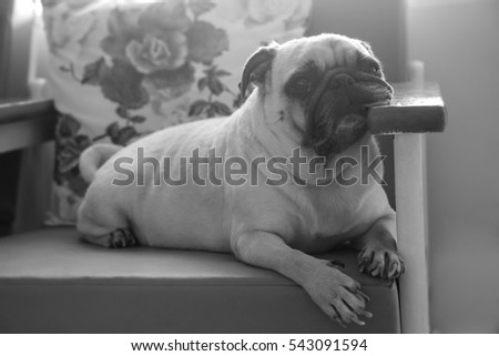 Black And White With Low Key Concept Of Cute Lonely Puppy Pug Dog Sad And Sit