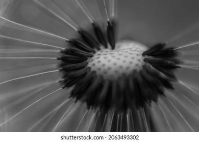 Black and white macro dandelion flower