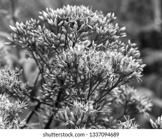 black and white macro photo of a Joe Pye Weed flowering plant