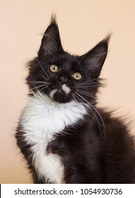 black and white maine coon kitten on a beige background