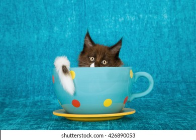 Black and white Maine Coon kitten hiding away in extra large blue polka dot cup on blue background