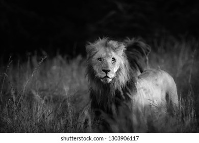 Black and white male lion in the African plains focused on the hunt