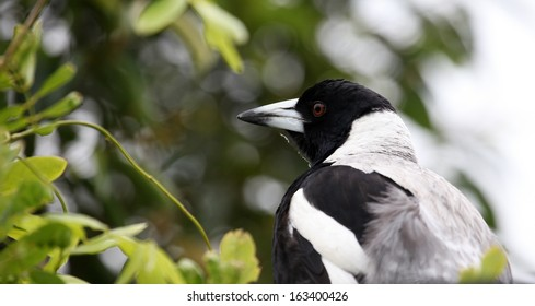 black and white male magpie bird in garden with background of trees