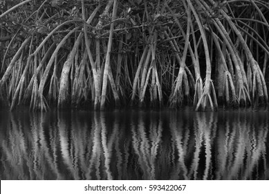 Black and white Mangrove roots and reflection on Merritt Island, Florida