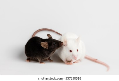 Black and white mice together with white background