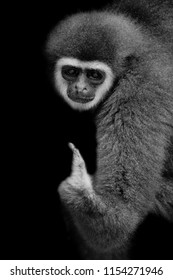 black and white monkey white-handed Gibbon looking and siting with balck background