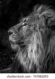 Black and white monochrome left side profile portrait of a captive male lion showing detail of the nose, face, head and mane