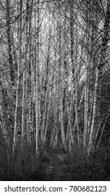 Black & White Mountain Ash Near Chehalis