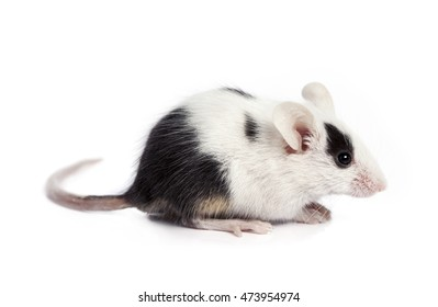 Black and white Mouse isolated on white background