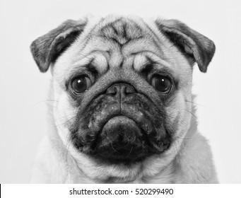 Popular Pug Bow Adorable Dog - black-white-mugshot-pug-puppy-260nw-520299490  Perfect Image Reference_51856  .jpg