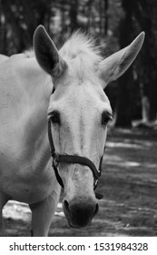 black and white mule facing you portrait photography