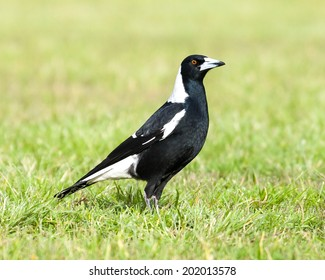 Black and white native Australian magpie (Cracticus tibicen) in profile standing upright on lush green grass