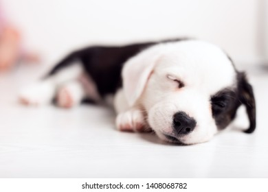 black and white newborn lazy relaxed Corgi puppy Lies down on the wooden floor for sleeping, dog shudders in sleep close up