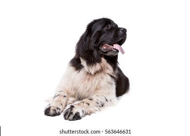 Black and White Newfoundland dog or Landseer dog in front of a white background