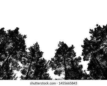 Black and White Old and tall Norway spruce tree the evergreen tree and standing tall in the wood isolated on white background. Clipping Path.