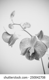 Black and white of orchid flower