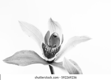 black and white orchid flower