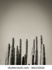 Black and White Organ Pipe Cacti Tops and The Moon