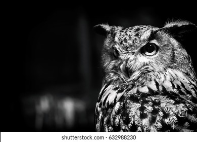 Black and White Owl with big eyes