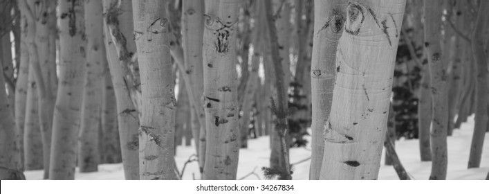 Black and White Panorama of Birch Trees