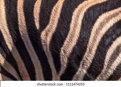 The black and white pattern of a Zebra